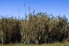 Free A Green Bamboo Forest And Blue Sky Stock Photo - 13890950