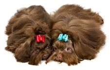 Free Two Lap Dogs In Studio Stock Photos - 13891193