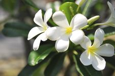 Free White Flower In Thai Epic Royalty Free Stock Images - 13891239