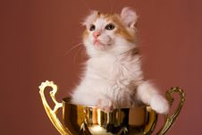 American Curl Kitten Stock Photo