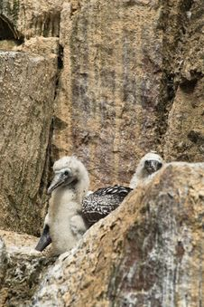 Free A Pair Of Peruvian Boobys Royalty Free Stock Image - 13891836