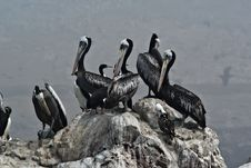 Free Pelicans On A Rock. Stock Photography - 13891862