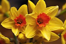 Free Close Up Of Yellow Narcissus Stock Image - 13892021
