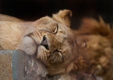 Free Lion Royalty Free Stock Images - 13892379