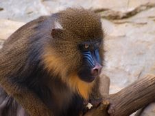 Free Mandrill Stock Photography - 13892652
