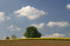 Free Field With Rapeseed And Chestnut Tree In Germany Royalty Free Stock Images - 13892819