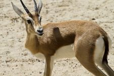Young Gazelle Royalty Free Stock Photography