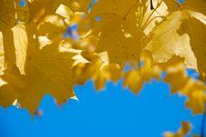 Maple Laple Against The Blue Sky Stock Photography
