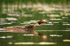 Free Grebe Crested Swiming In The Lake Royalty Free Stock Image - 13894346