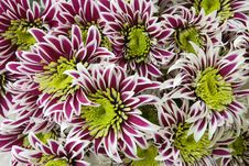 Free Group Of Chrysantemum Royalty Free Stock Images - 13894589