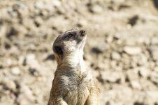 Free Meerkat (Suricata Suricatta) Stock Photography - 13894712