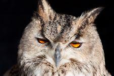 Free Royal Owl - Bubo Bubo Stock Image - 13895341