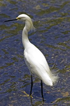 Free Snowy Egret In A Shallow River Royalty Free Stock Photo - 13895465