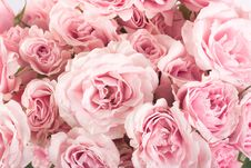 Free Roses Royalty Free Stock Photography - 13895517