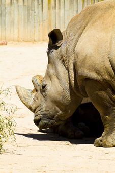 Free White Rhino Royalty Free Stock Image - 13895526