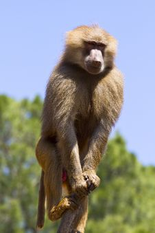 Free Baboon In A Tree Royalty Free Stock Photography - 13895817