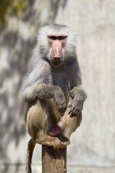Free Baboon Stock Photos - 13895863