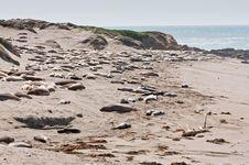 Free Elephant Seals Stock Photo - 13895940