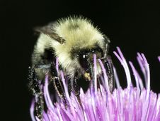 Free Bumble Bee Feeding Royalty Free Stock Images - 13895949