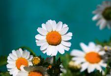Florists Chrysanthemum Royalty Free Stock Image