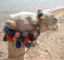 Free Camel Stock Image - 13897171