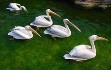 Free Pelicans Royalty Free Stock Photography - 13897747