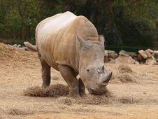 Free Rhinoserus Royalty Free Stock Photos - 13897978