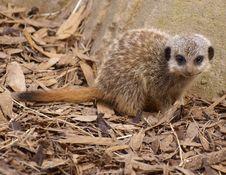 Free Baby Meerkat Royalty Free Stock Photo - 13898065
