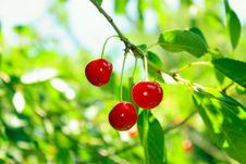 Free Cherry On Branch Stock Images - 13898544