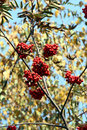 Free Ashberry 1 Royalty Free Stock Photo - 1391985
