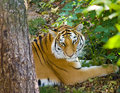Free Bangle Tiger Stock Photo - 1392400