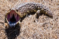 Free Mouth Wide Open (Shingleback Lizard) Stock Photo - 1396830