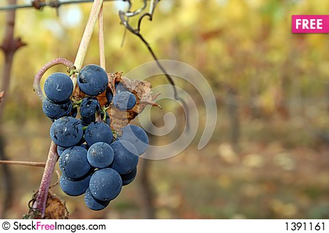 Small Grape Cluster After Harvest Stock Photo