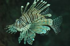 Free Lion Fish Royalty Free Stock Photos - 1390808