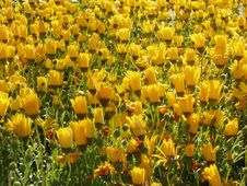 Free Yellow Flowers Royalty Free Stock Photos - 1390958