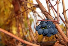 Free Un-Harvested Grapes Stock Photo - 1391170