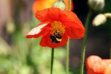 Free Humblebee & Flower Stock Image - 1392011
