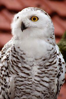 Free White Owl Stock Image - 1392061