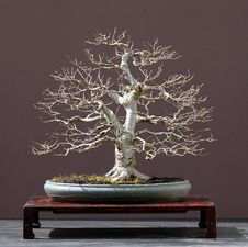 Free Linden Bonsai Stock Photography - 1392662