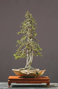 Free Larch Bonsai Stock Photo - 1392710