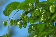 Free Hop Is Ready For Harvest Stock Photos - 1392833