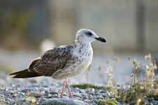 Free The Seagull Royalty Free Stock Photography - 1392957