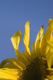 Free Sunflower Royalty Free Stock Photography - 1393557