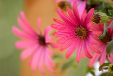 Free Red Osteospermum Stock Photography - 1395822