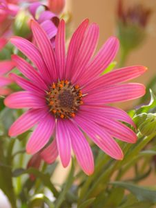 Free Red Osteospermum Royalty Free Stock Photo - 1395825