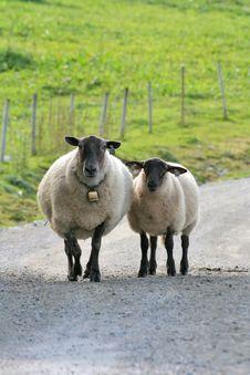 Free Along Came A Sheep Royalty Free Stock Image - 1395886
