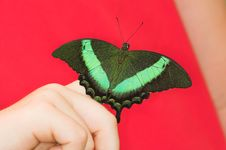 Free Swallowtail Royalty Free Stock Photo - 1396105
