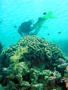 Free Diver Over Coral Stock Image - 1396261