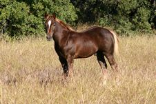 Free Chestnut Colt Royalty Free Stock Images - 1396529