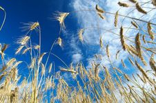 Free Rye Field In Late Summer1 Stock Image - 1396601